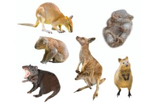 This marsupial Is The Only Animal That Can Conceive Even When Pregnant